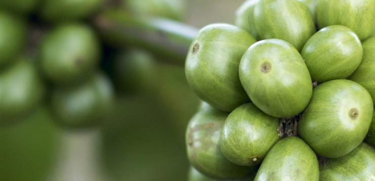 Słów kilka o zielonej kawie