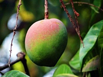 african mango opinie, forum, działanie, skutki uboczne, cena, gdzie kupić, efekty niepożądane, objawy